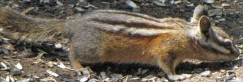 Chipmunk's stripes like scratches