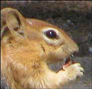 Chipmunk had no stripes